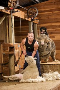 Agrodome A Shearer Shearing A Sheep In 2019 Sheep