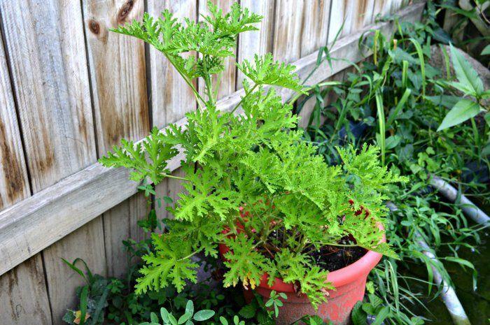 12++ Where can i buy citronella plants ideas