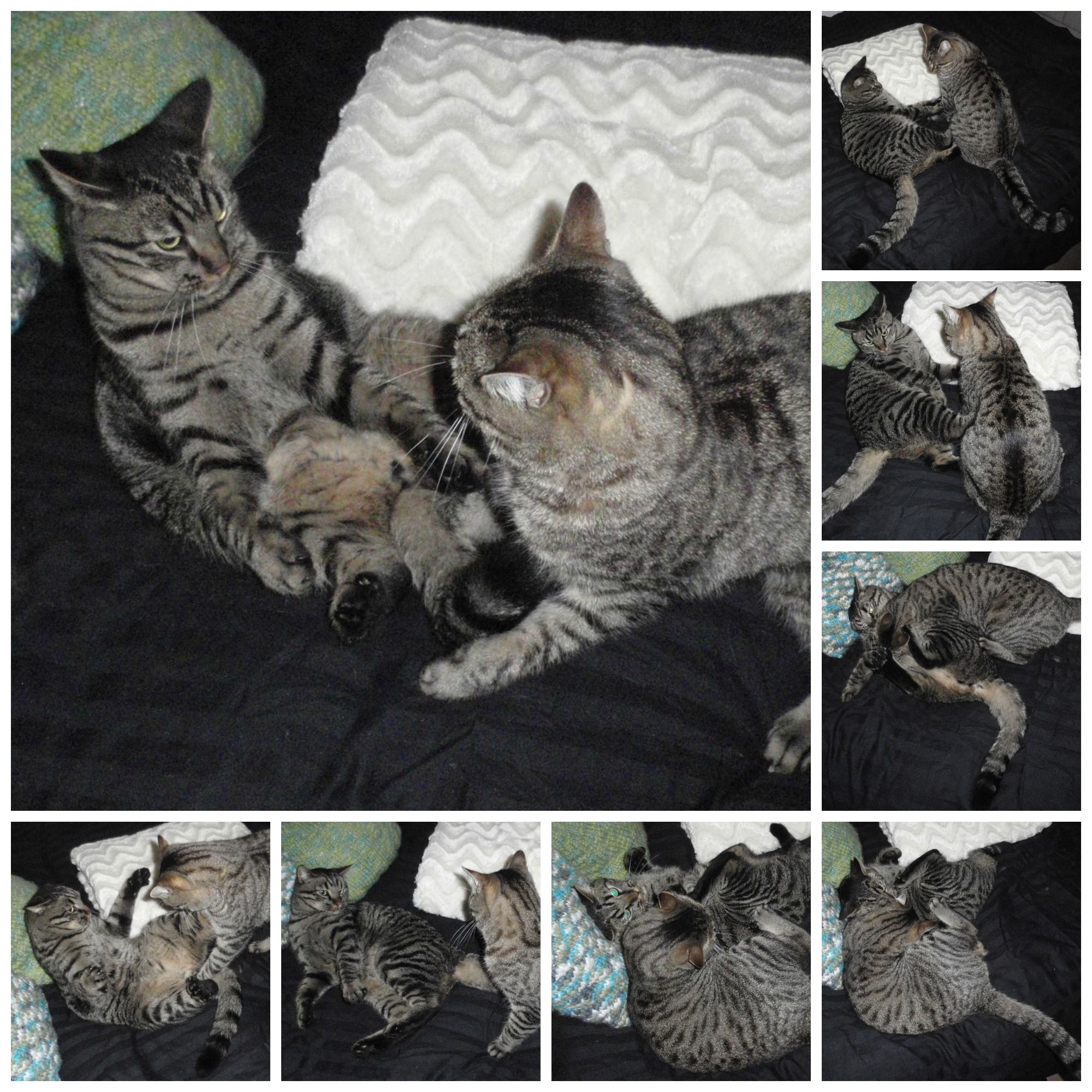 Bros. Felix (l) and Quintus (r) in a typical cat fight...Quintus being the aggressor...as usual... ;)