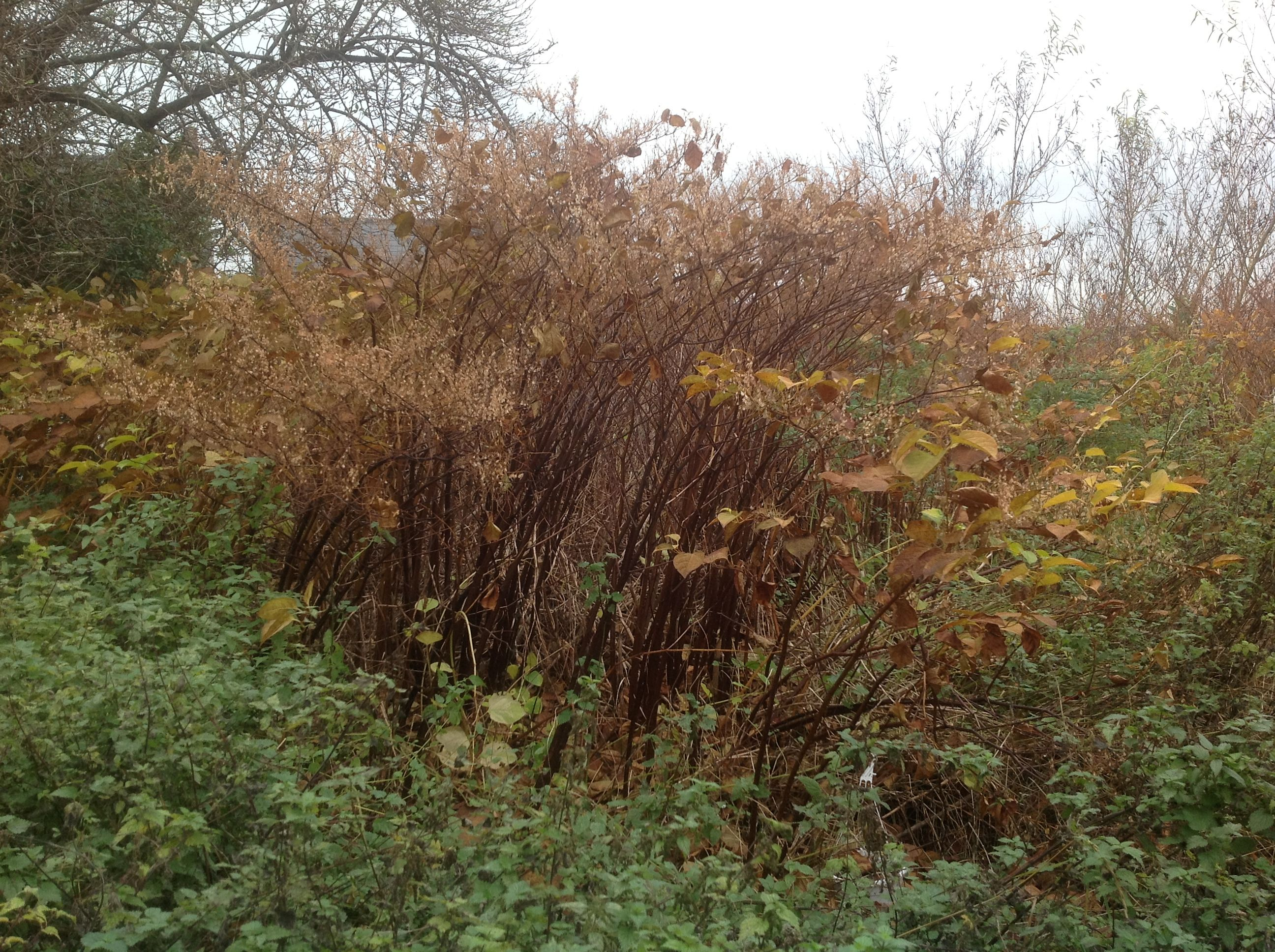 Japanese knotweed can cause serious damage to man-made structures ...