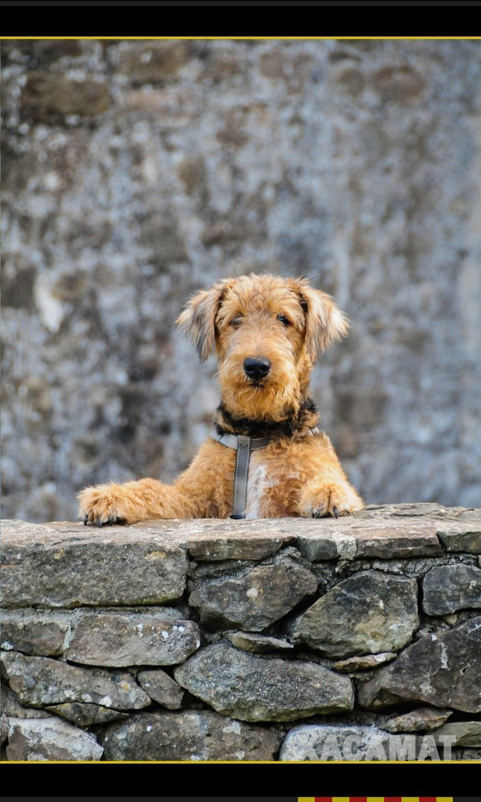 24 Of The Cutest Pictures Of Airedale Terrier Dogs Digital