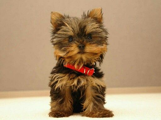 A little dog with a red band