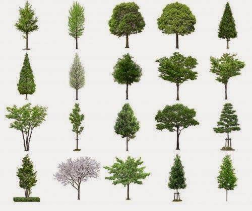 Tipos de pinos pino y abetos tipos de arboles rboles for Porque hay arboles de hoja perenne