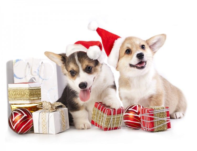 Christmas Present Corgis Corgi Christmas Dog Dog Supplies