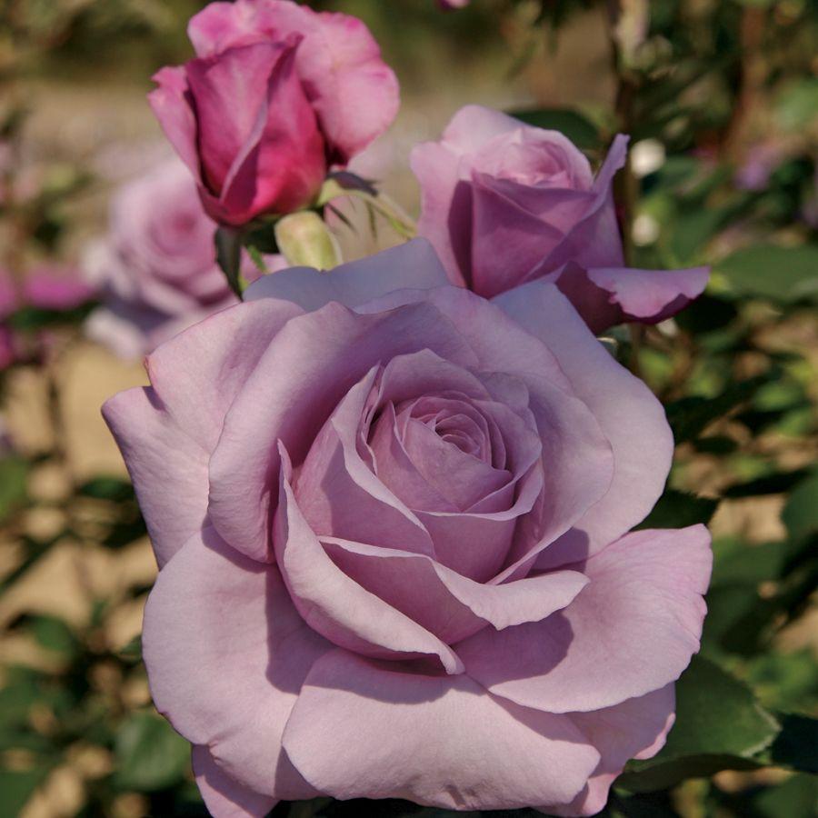 Sweetness Grandiflora Rose - Bareroot at Jackson and Perkins
