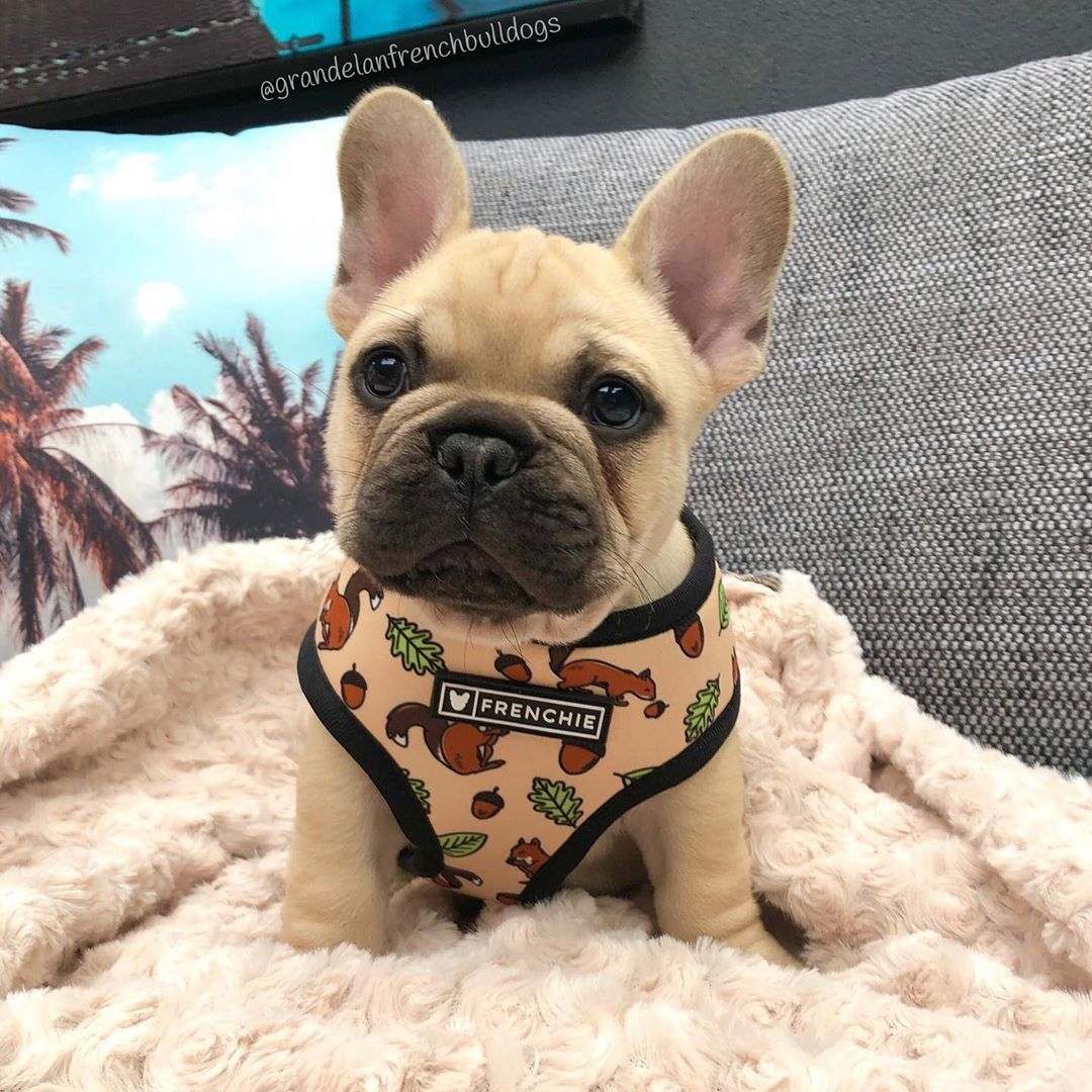 Have You Squirreled Your Nuts Away For The Winter Thor Frenchie Bulldog French Bulldog Puppies Bulldog Puppies Bulldog