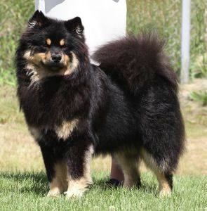 finnish Lapphund photo | Finnish Lapphund Breeders ...
