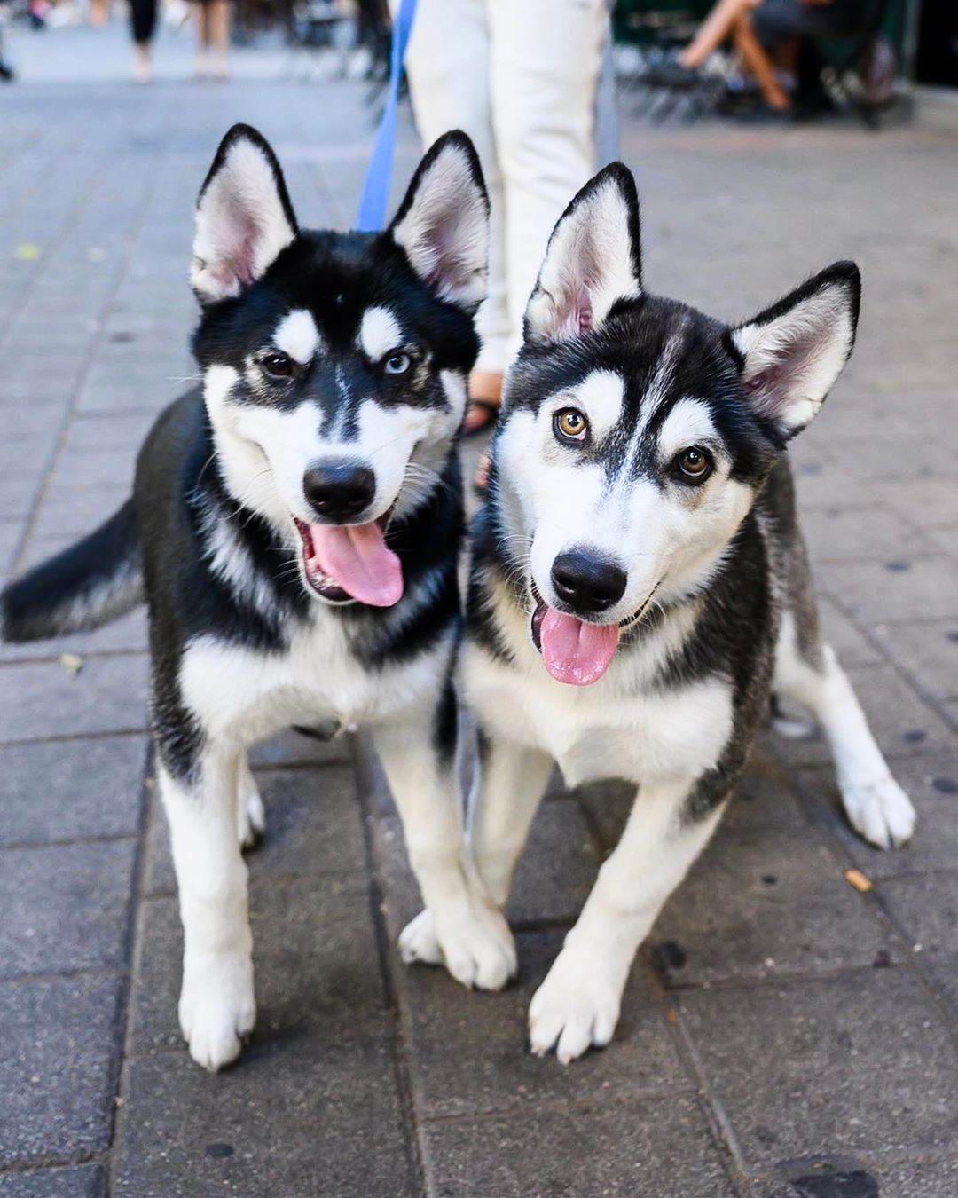 X Y Siberian Huskies 3 M O Dizengoff St Tel Aviv Israel
