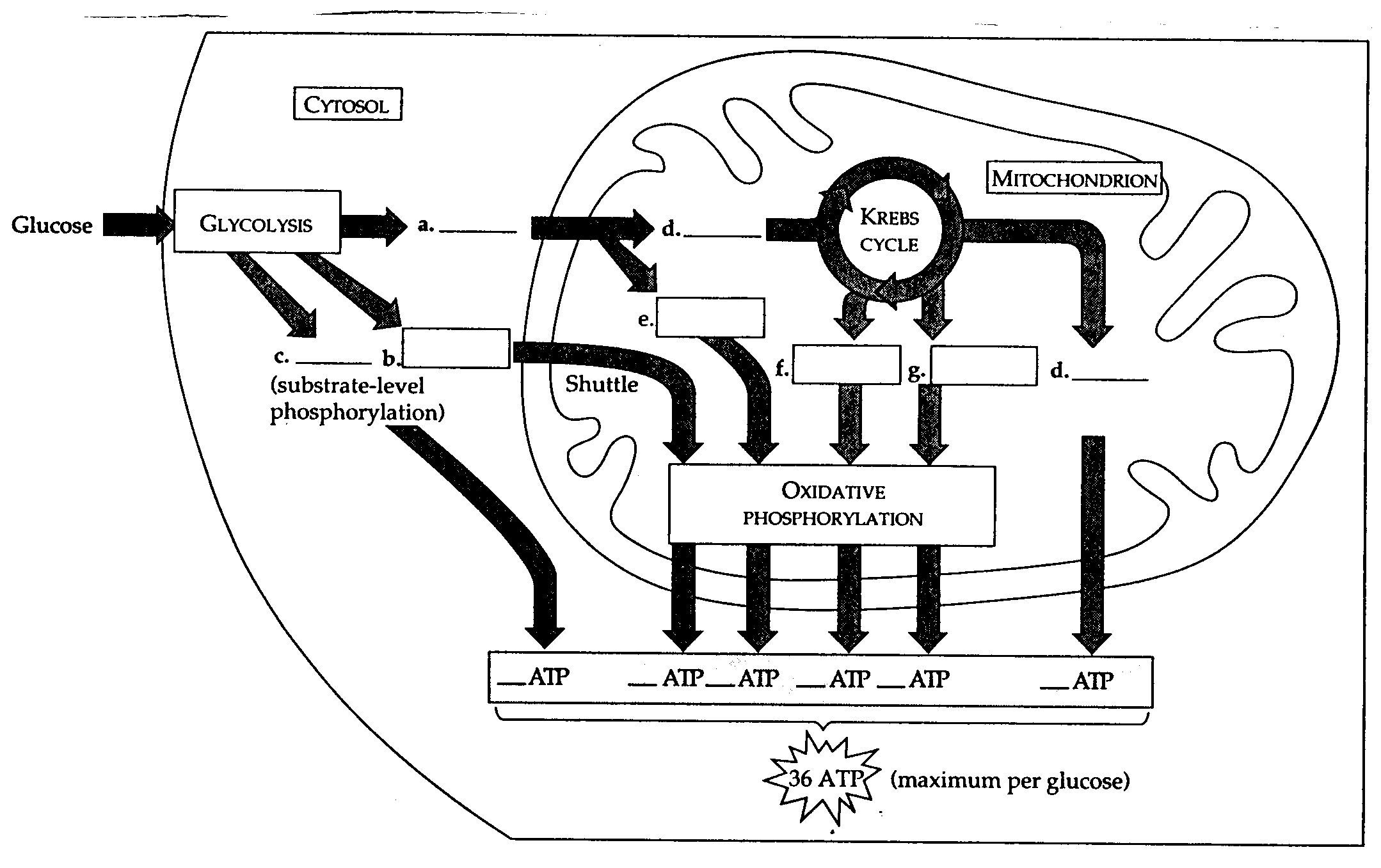 cellular respiration diagram blank