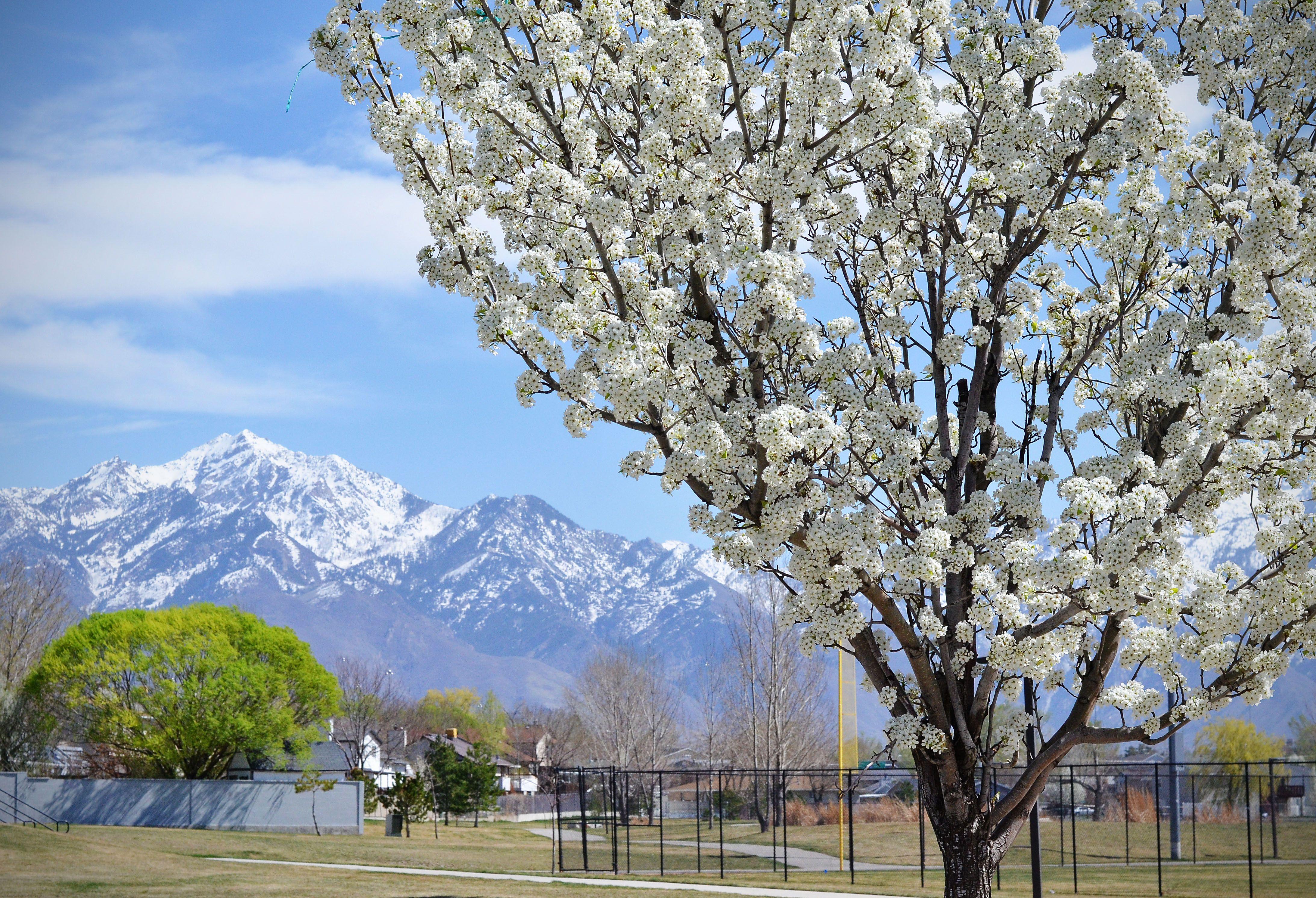 Utah Tree Spring Has Sprung And The Flowering Trees In Utah Are Crazy Pretty Plant Life Flowering Trees Utah