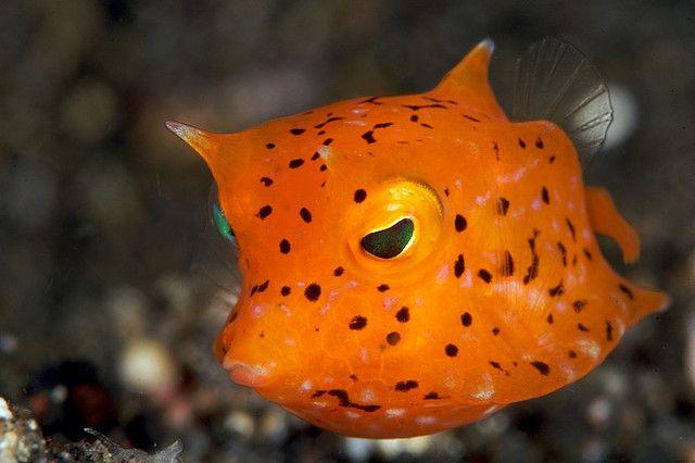 Orange Cowfish Juvenile Cool Sea Creatures Deep Sea Creatures Ocean Animals