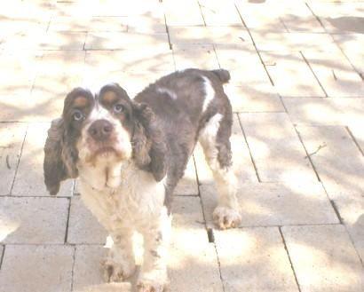 Adopt Aj On Cocker Spaniel Pet Adoption Pets