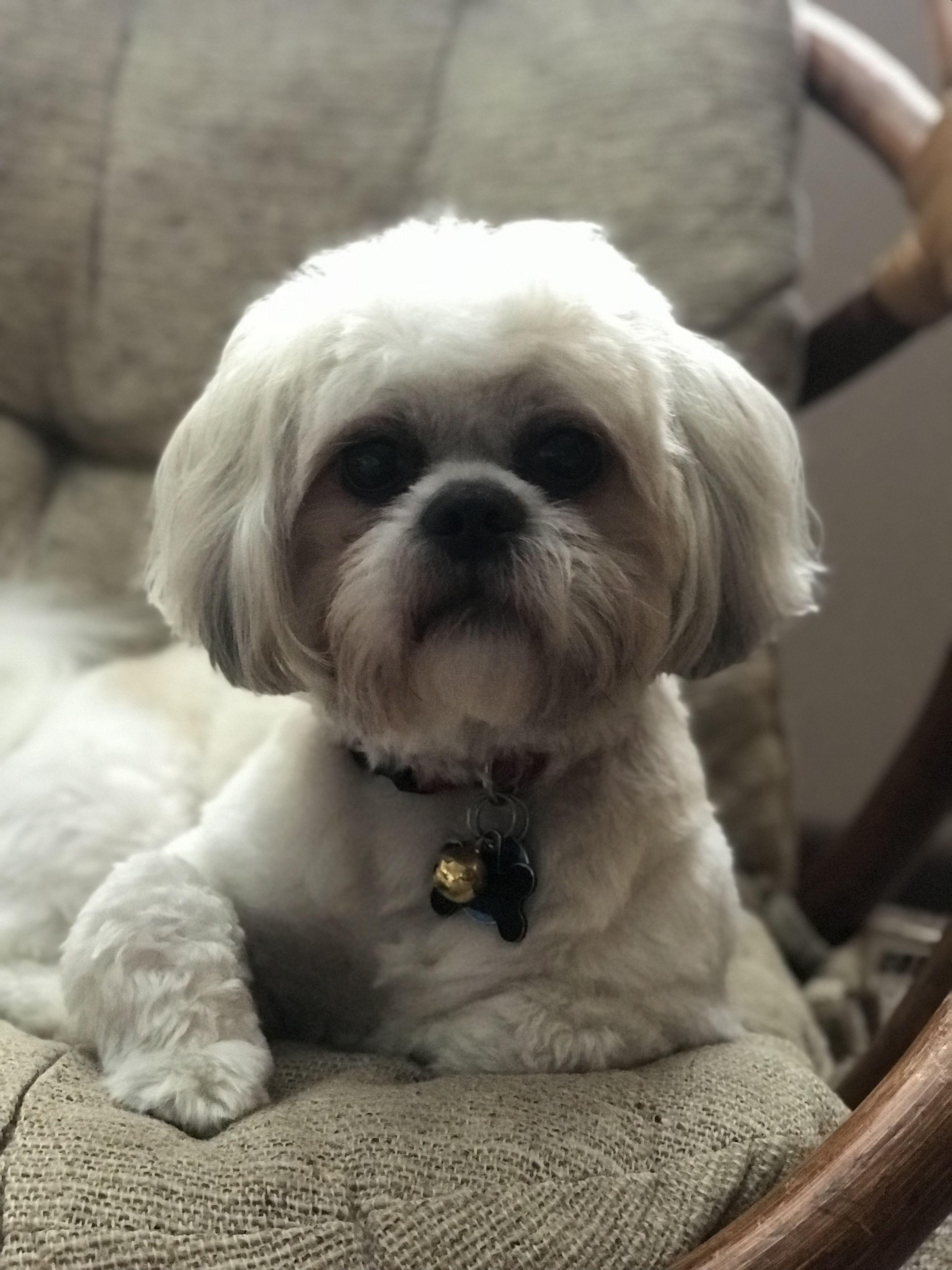 Shih Tzu Nugget Buy A Cat Shih Tzu Puppy Shih Tzu Dog