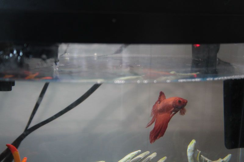 Can A Betta Fish Live In A Small Fish Bowl Do Bettas Need Tanks Betta Fish Betta Pet Fish
