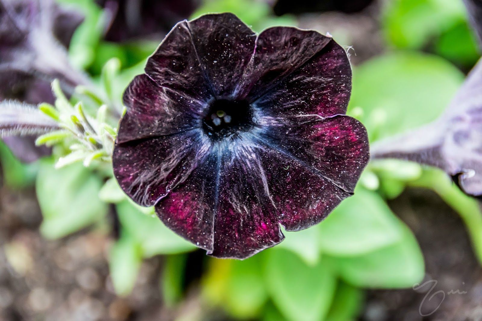 Galaxy Flower Aka Black Velvet Petunia Flowers Galaxy Flowers Petunias Flowers