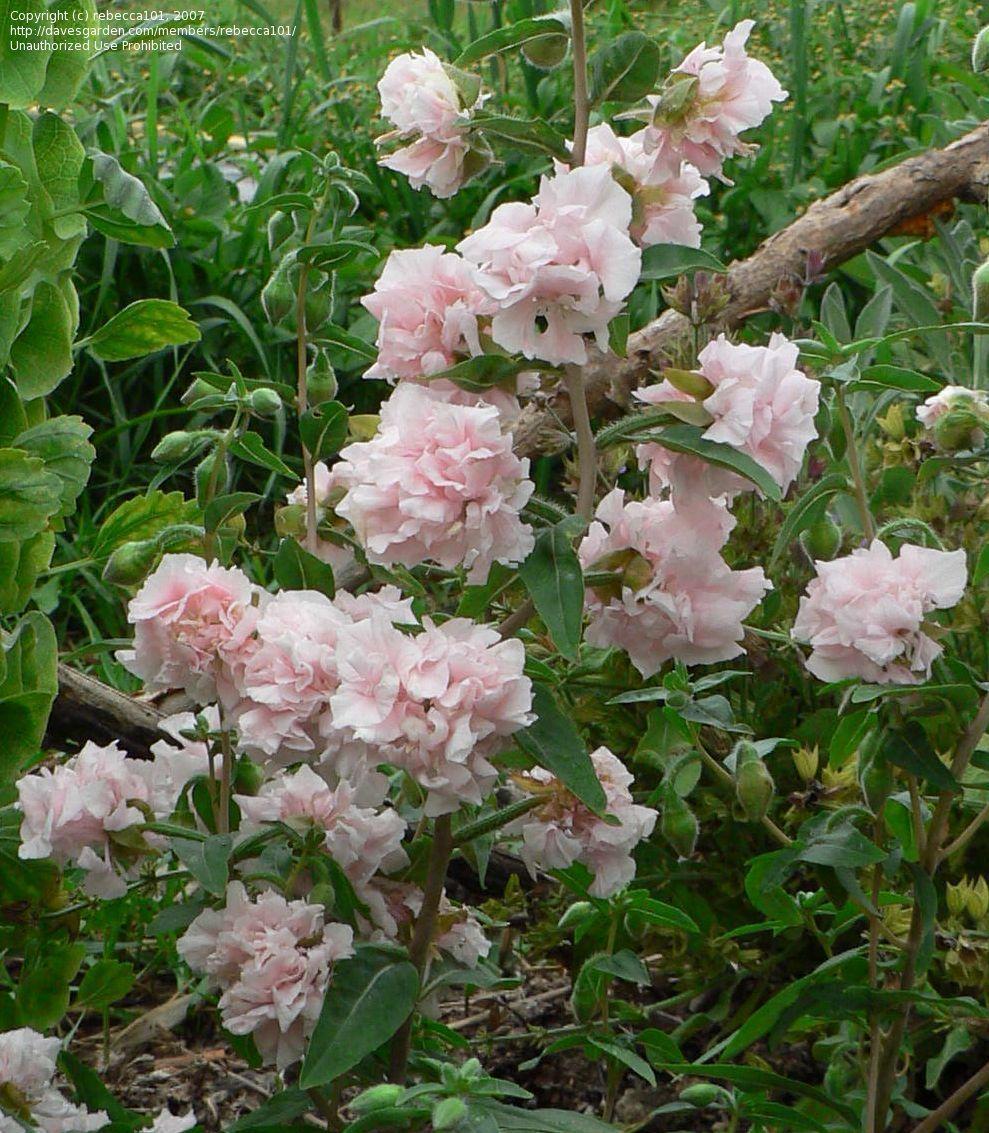 Plantfiles Pictures Clarkia Garland Flower Mountain Garland Apple Blossom Clarkia Elegans 1 By Rebecca101 Apple Blossom Flowers Blossom