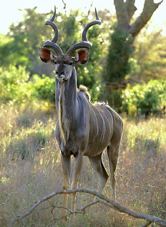 The markings and cryptic coloring on their skin protect the kudus