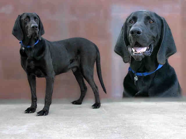 Chevy A0633241 Is Male English Coonhound Great Dane Mix