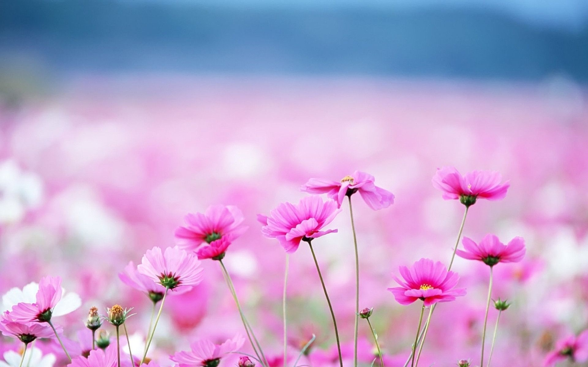 Pink Flower Desktop Purple Wallpaper For Computer The Post Appeared First On Share Online