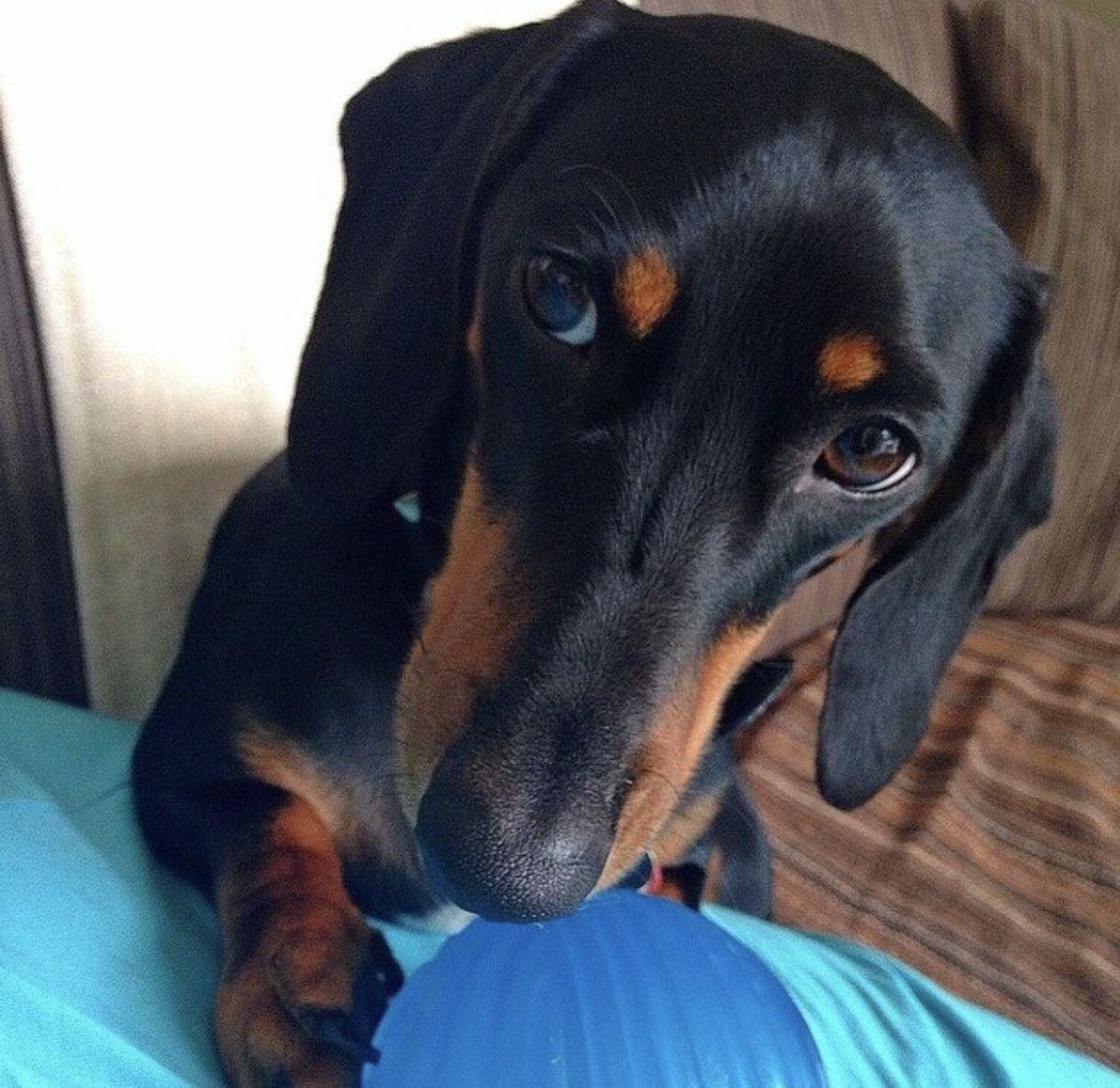 3 New Pinterest Dog Doglovers Love Like4like Weenie Dogs
