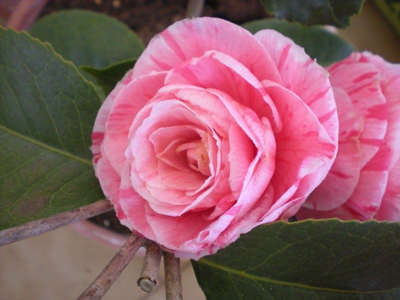 Camellia japonica 'Roma Risorta' (Italy, 1866)