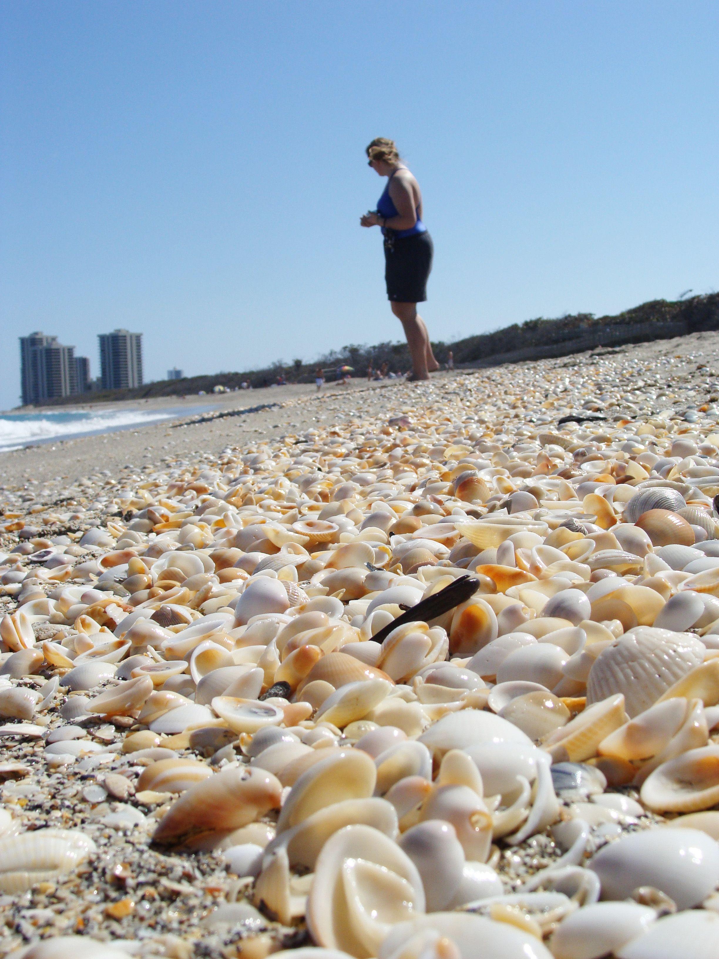 Seashell Hunting At Macarthur Beach West Palm Florida