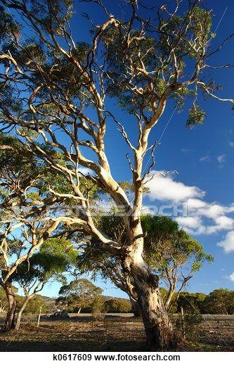 Old Gum Tree Tree Landscape Trees Australian Trees