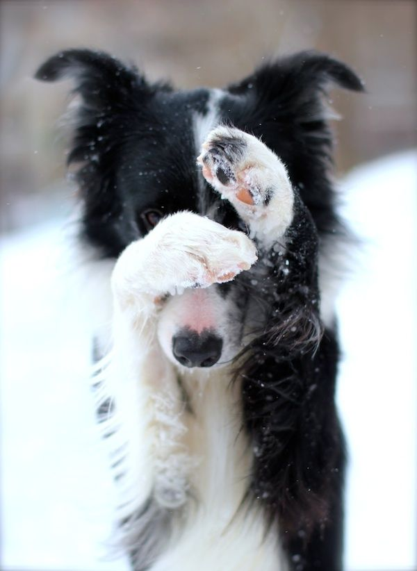 21 Adorable Photos Of Animals Surrounded By The Snow Collie Dog Collie Dogs