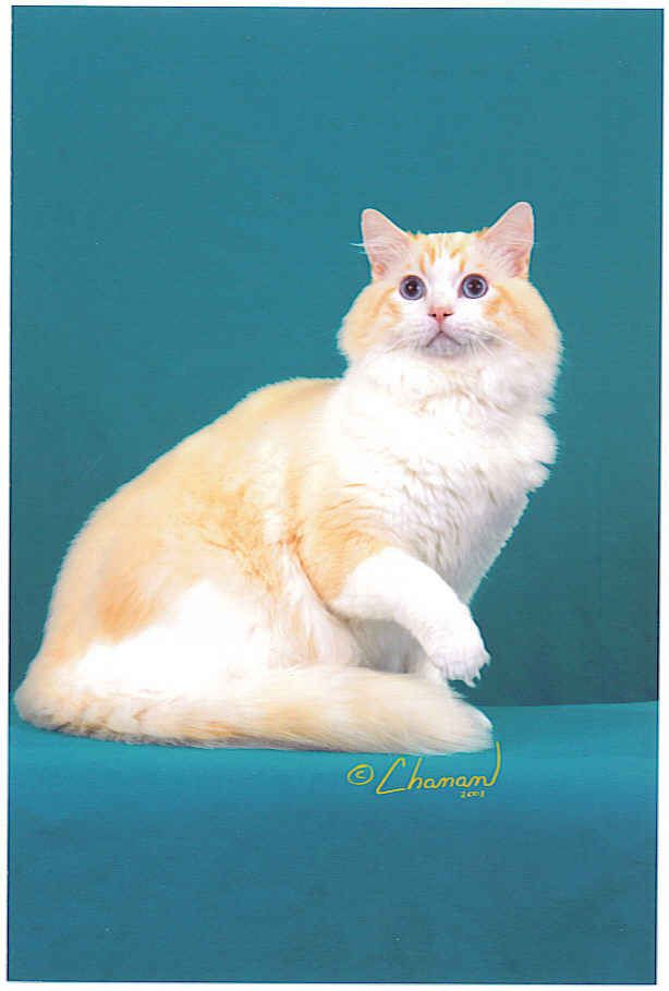 Siamese Cats Flame Point Ragdoll