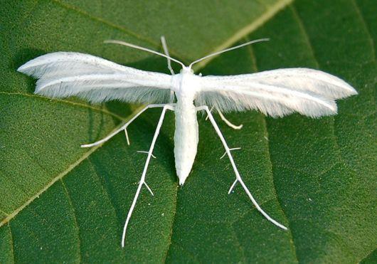 A-Z Liste von 125 seltenen Albino-Tieren  #albinoanimals Pterophore blanc | A-Z ...   #albino... #albinoanimals