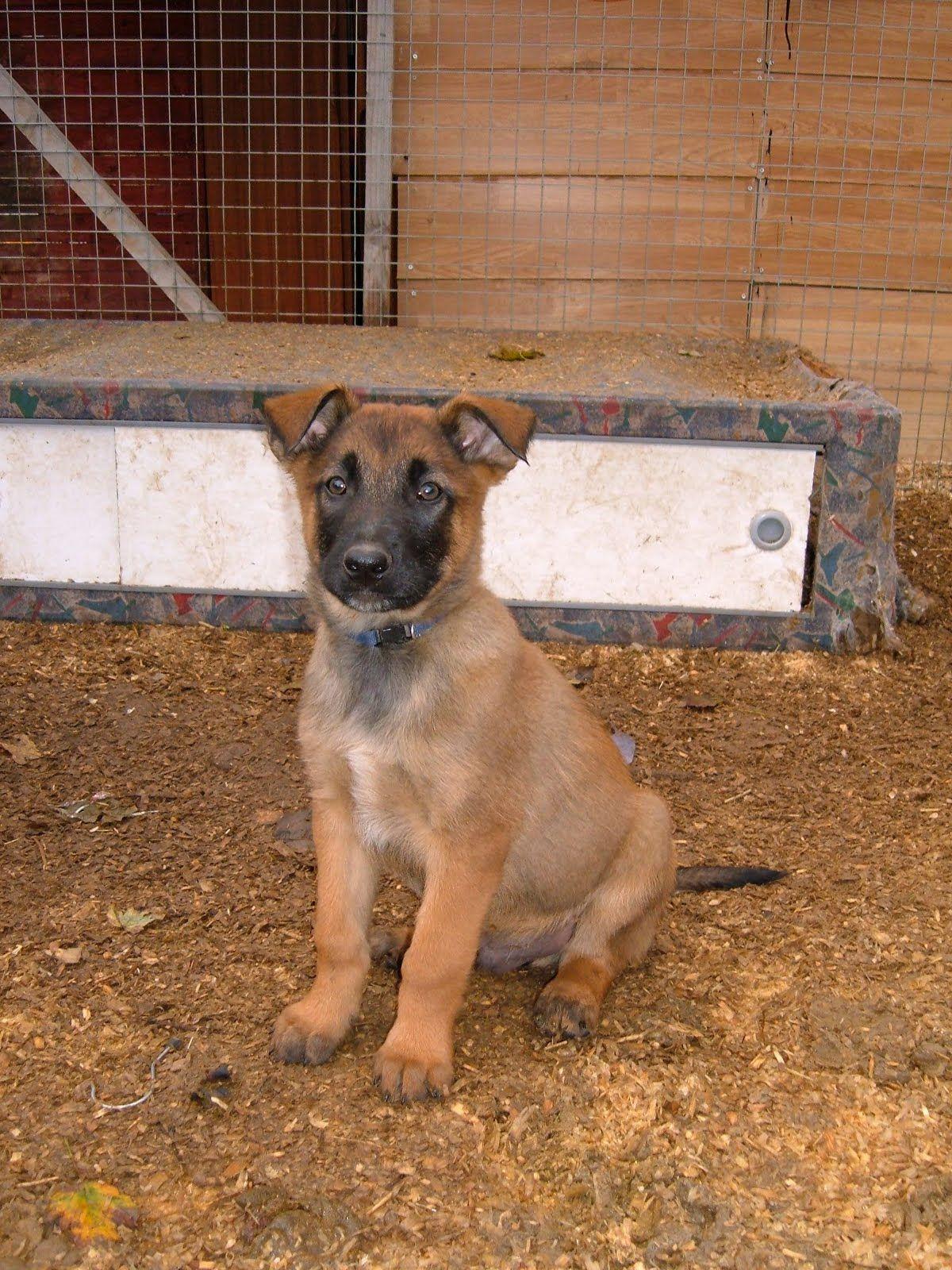 bergamasco shepherd dog photo Belgian Shepherd Dog