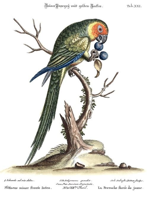 Yellow-faced parakeet (?). From Verzameling van uitlandsche en zeldzaame vogelen… (Collection of foreign and rare birds…) vol. 2, by Mark Catesby & George Edwards, Amsterdam, 1776.