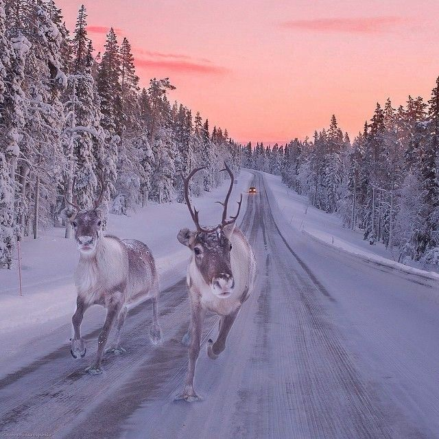 Reindeer can easily travel 40 to 50 kilometers a day, stopping every 7,5 kilometers or so for piss break (poronkusema-old length unit of measurement, how far reindeer can travel before having to stop to pee). As reindeer walk, they make a clicking sound as tendons in their feet stretch across their foot bones.photo credit: visit Finland