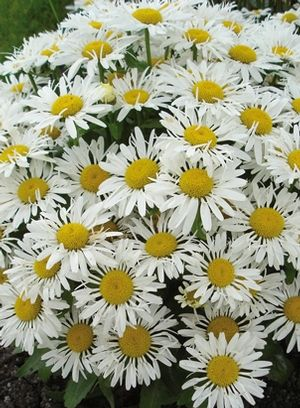 Leucanthemum x superbum 'LaCrosse' (Shasta daisy) - Perennial - Zones 4-8, Height 10-12 in. Tends to bloom earlier than other daisy varieties, with a short stature and tidy, compact habit. Traditional white, quilled petals and sunny yellow centers provide a classic look to the garden throughout the summer. 'LaCrosse' exhibits quilled petals with some variation in flower form depending on weather - in general, the cooler the weather, the more tubular the petal shape.
