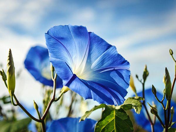 Clark's Heavenly Blue Morning Glory Képek