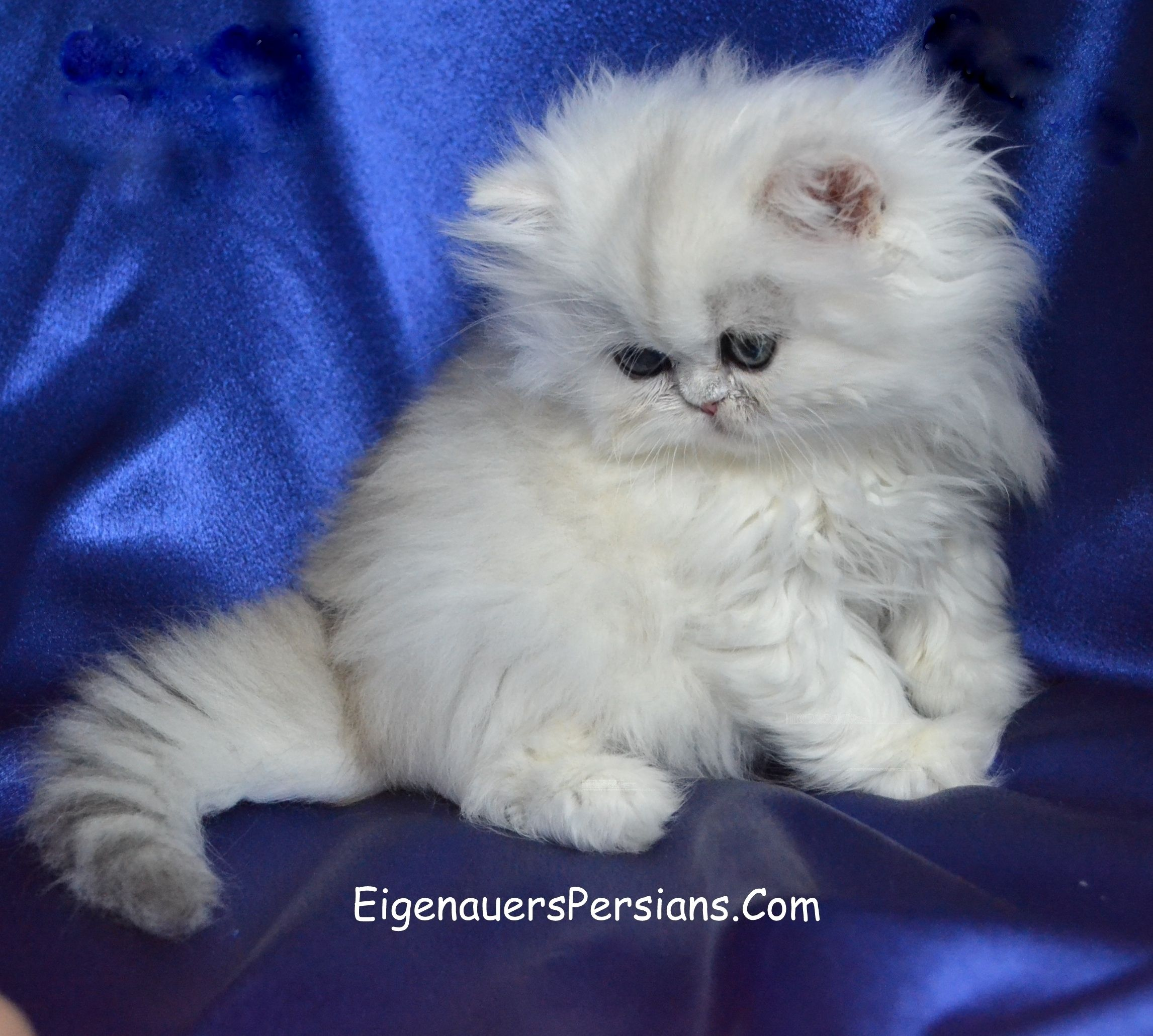 Pin On Persian Kittens For Sale Eigenauerspersians Com