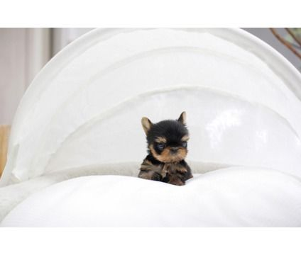 Bjmhiojhm Well Trained Mini Teacup Yorkie Puppies For Any Pet