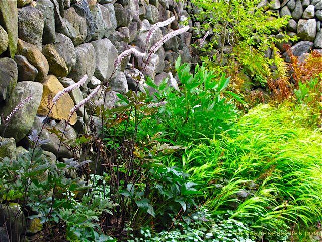 actaea racemosa cimicifuga racemosa 39 hillside black beauty 39 fairy candles shade garden. Black Bedroom Furniture Sets. Home Design Ideas