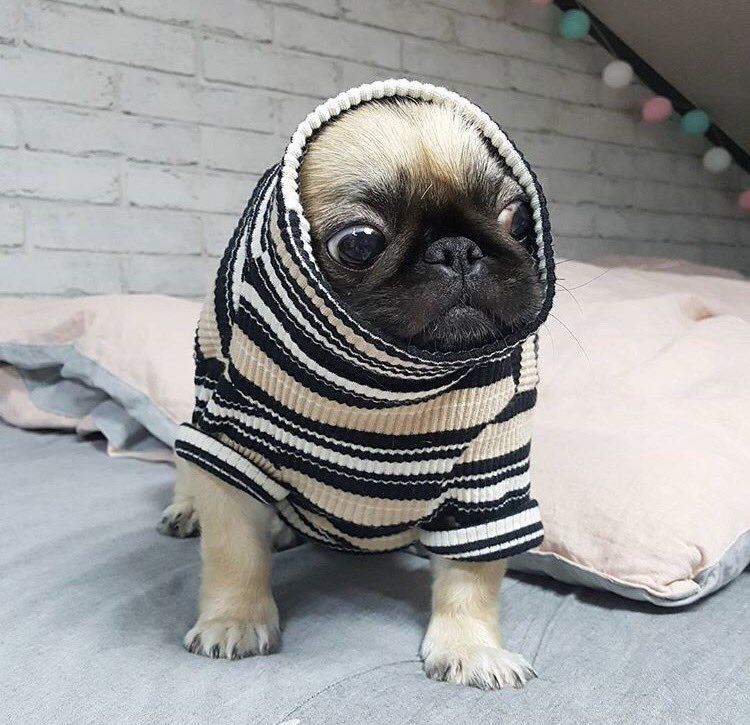So Cute Baby Pugs Cute Pugs Cute Animals