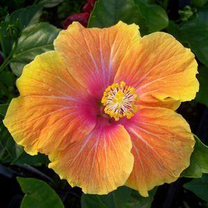 Hibiscus Luau Pipedream Tangerine Buy Tropical Hibiscus Annuals Online Desenhos De Flores Flores