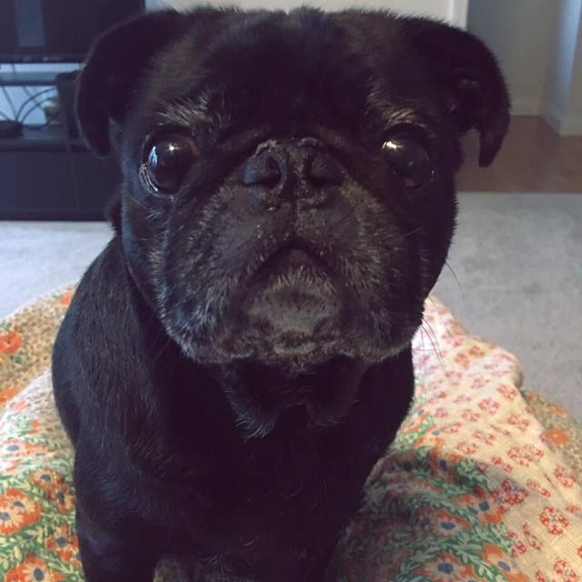 Pug Dog For Adoption In Knoxville Tn Adn 43047 On Puppyfinder
