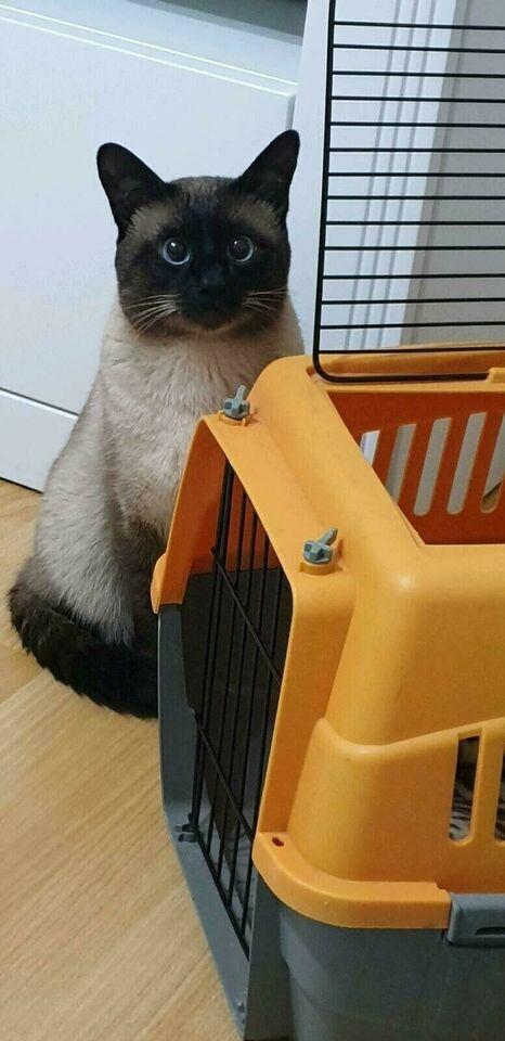 Die liebsten Siam Ragdoll Kitten der Welt ) in Köln