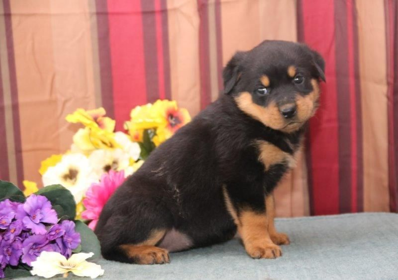 Litter Of 7 Rottweiler Puppies For Sale In New Holland Pa Adn 25055 On Puppyfinder Com Gender Rottweiler Puppies Rottweiler Puppies For Sale Puppies For Sale