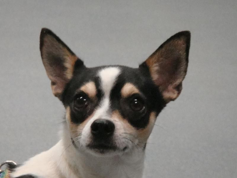 Adopt Mason On Chihuahua Terrier Mix Dogs Humane Society