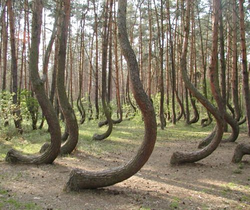 """In a tiny corner of western Poland a forest of about 400 pine trees grow with a 90 degree bend at the base of their trunks - all bent northward. Surrounded by a larger forest of straight growing pine trees this collection of curved trees, or """"Crooked Forest,"""" is a mystery."""