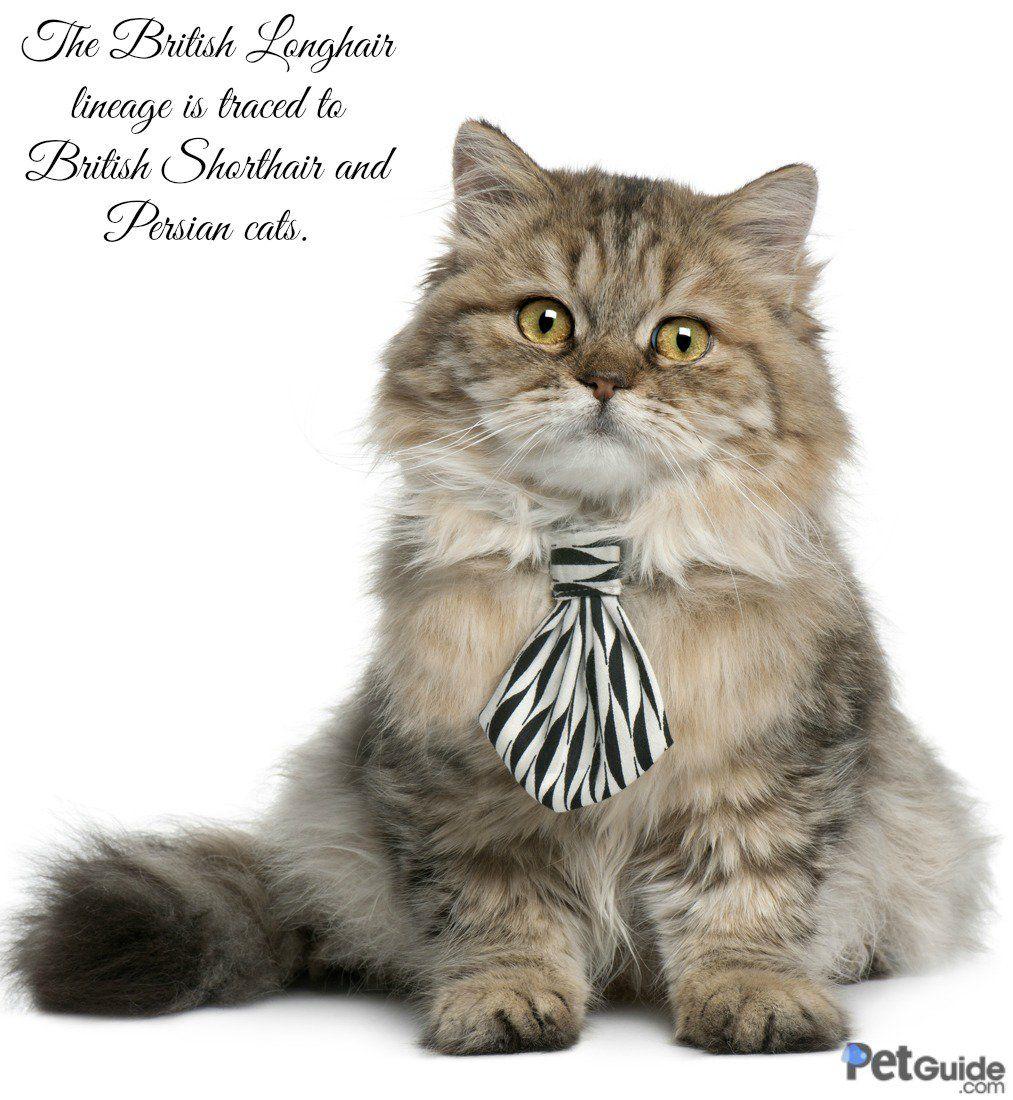 British Longhair Cat breeds, Cats, Cat love