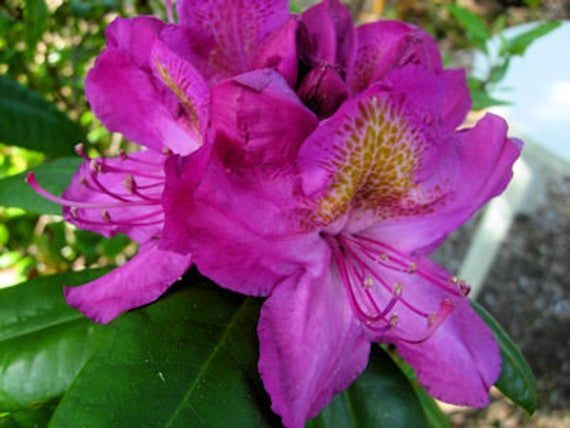 Rhododendron Royal Purple - Tiefpurpurne Blüten mit goldenem Fleck - Winterhart bis -10 Grad - Wächst,  #beautifulhomegarden #besthomegarden #bis #Blüten #dreamhomegarden #easyhomegarden #Fleck #goldenem #Grad #homegardenaesthetic #homegardenapartment #homegardenarchitecture #homegardenbackyard #homegardenbalcony #homegardenbar #homegardenbeginner #homegardenboxes #homegardendecoration #h...