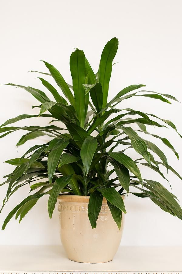 The Most Common Inside Houseplant Janet Craig S Long Glossy Dark Green Leaves Grow In A Rosette Shape Add Tropical Feel To Office Or Home
