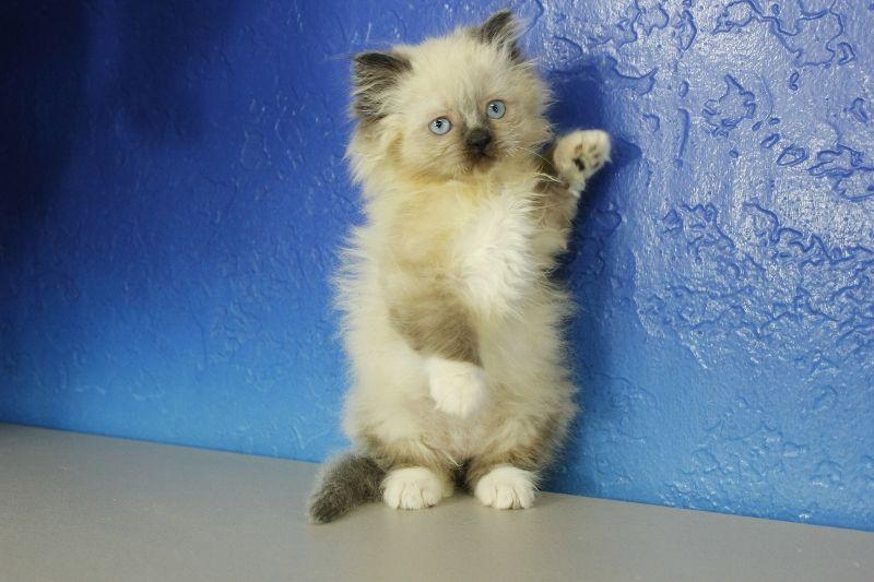 Adam Seal Mitted Ragamuffin Cat Kitten From Www Ragdollkitten Us Kittens Cutest Ragamuffin Cat Ragdoll Kitten