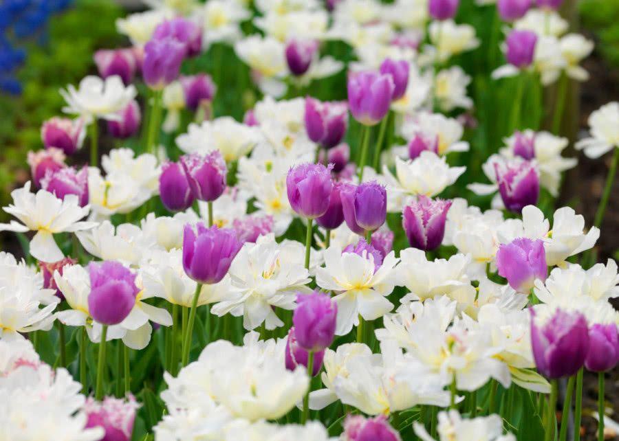 Kolorowe Rabaty Jak Dobierac Kolory Kwiatow Zielony Ogrodek Tulips Buy Plants Online Tulips Flowers